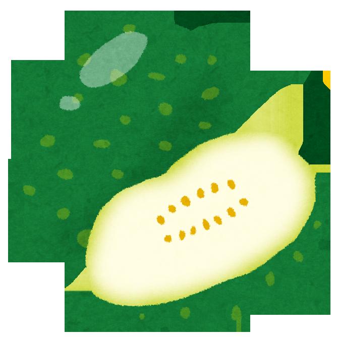 冬瓜(トウガン)の栄養は?栽培・育て方は?