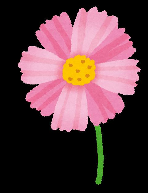 秋桜(コスモス)の色の種類は?花言葉に違いはあるの?